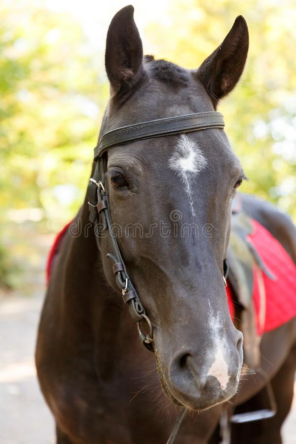 Horse on nature. Portrait of a horse, brown horse. A horse is in the nature. Portrait of a brown horse with a red saddle. A large plan royalty free stock photos