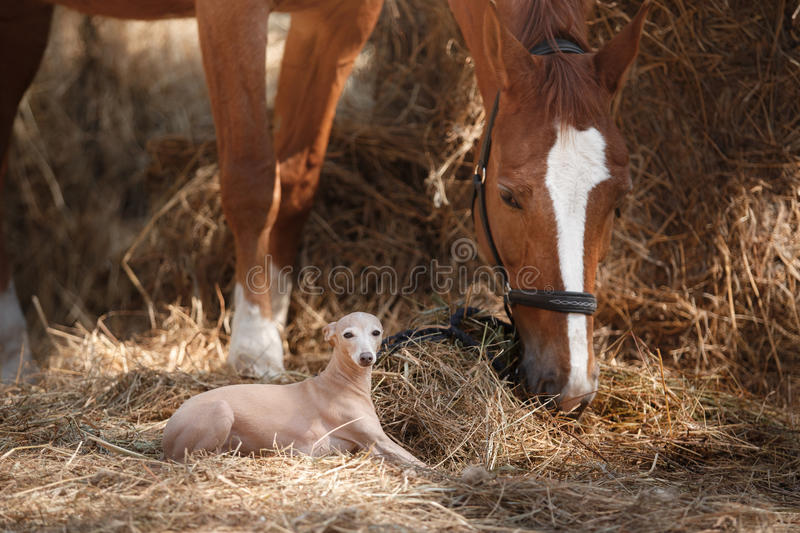 Horse on nature. Portrait of a horse, brown horse, horse stands in the paddock. And dog breed Italian greyhound royalty free stock photography