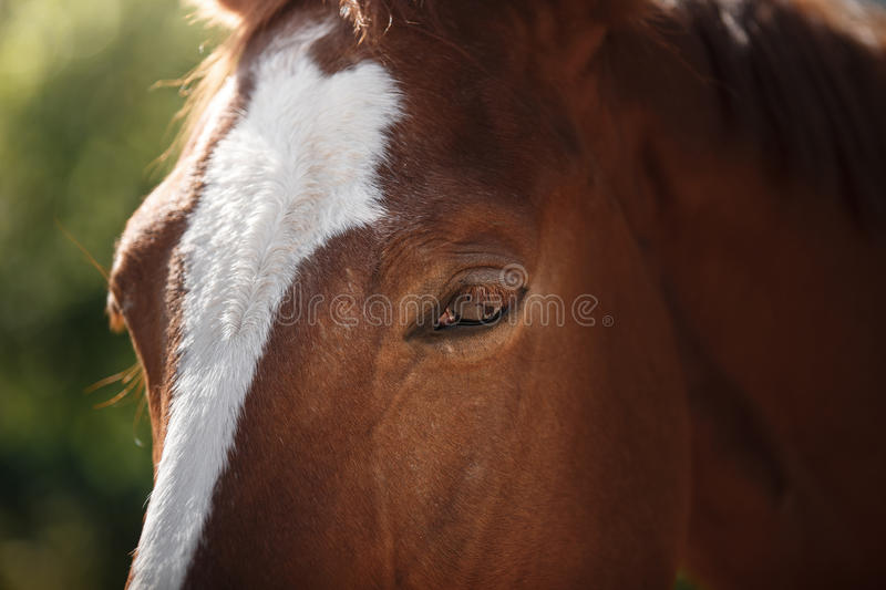Horse on nature. Portrait of a horse, brown horse. Muzzle horse, horse eye royalty free stock photos