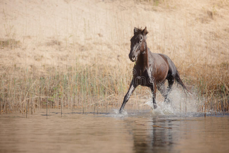 Horse on nature. Portrait of a horse. Horse jumps over water royalty free stock image