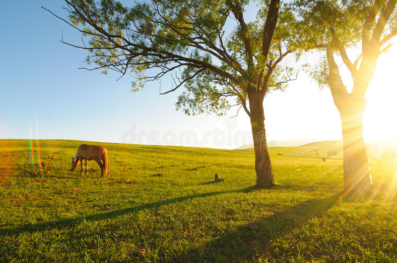 Horse in nightfall. A horse eating grass in nightfall, with trees and shadows stock photography