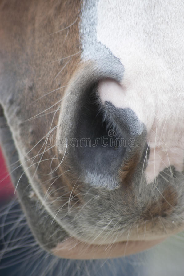 Horse nostril. Close up shot of a horses nostril royalty free stock images
