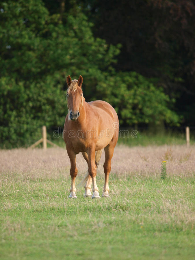 Download Horse In Paddock Royalty Free Stock Photos - Image: 28925418