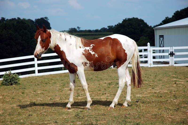 Horse - Palomino stock images