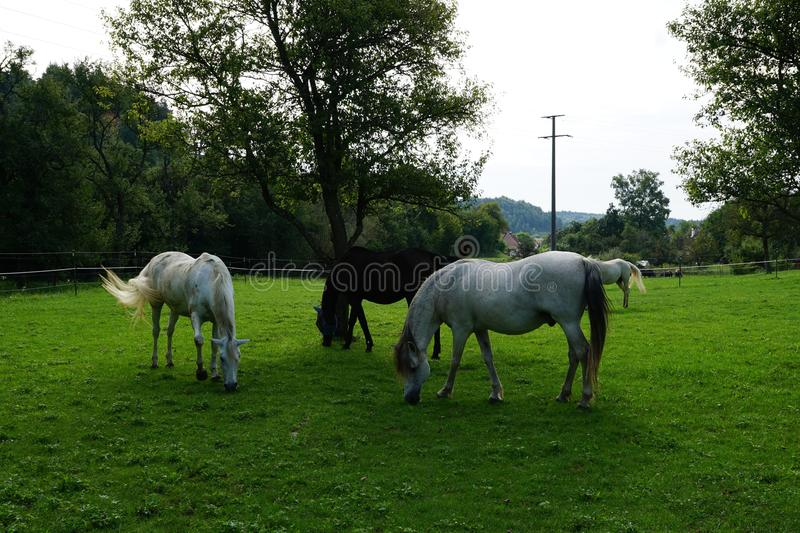 Horse, Pasture, Grassland, Grazing royalty free stock photography