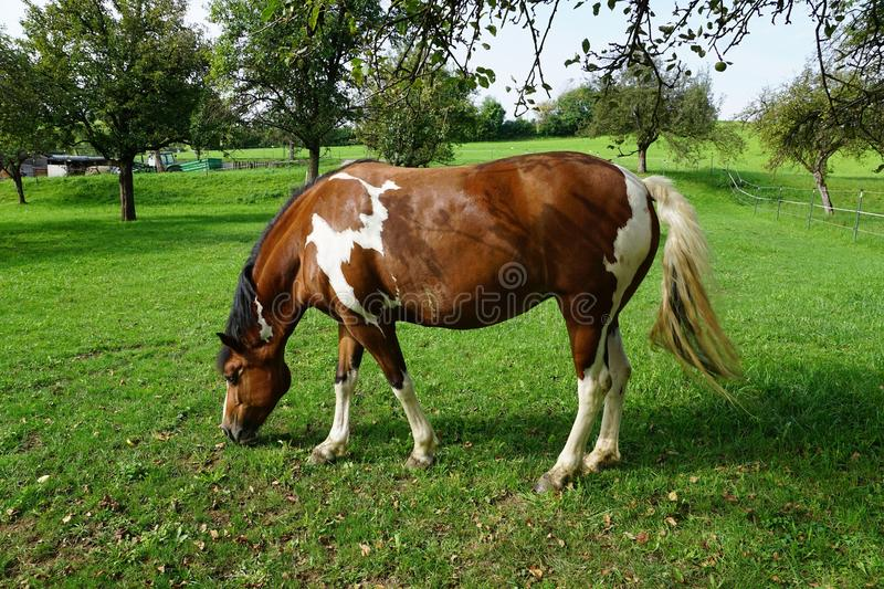 Horse, Pasture, Grazing, Grass stock image