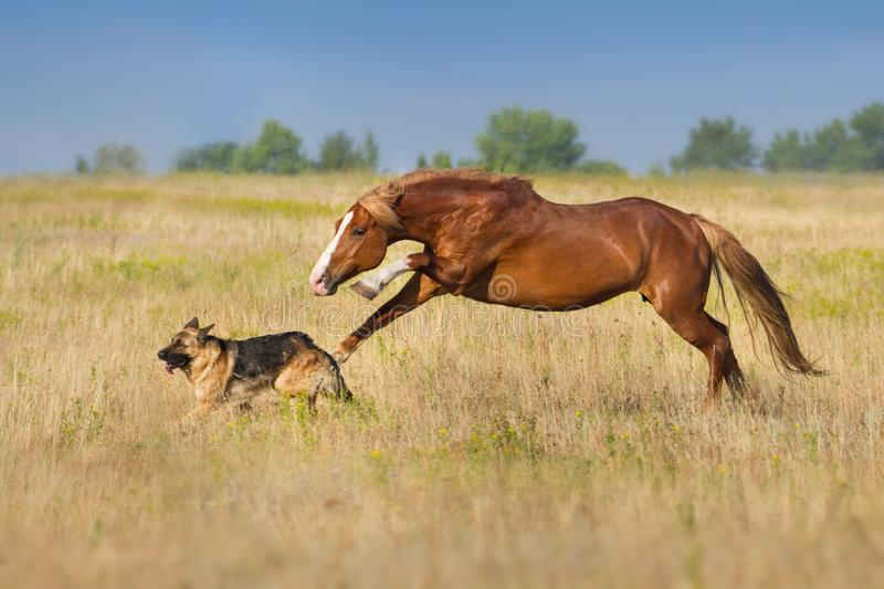 Horse run with dog stock images