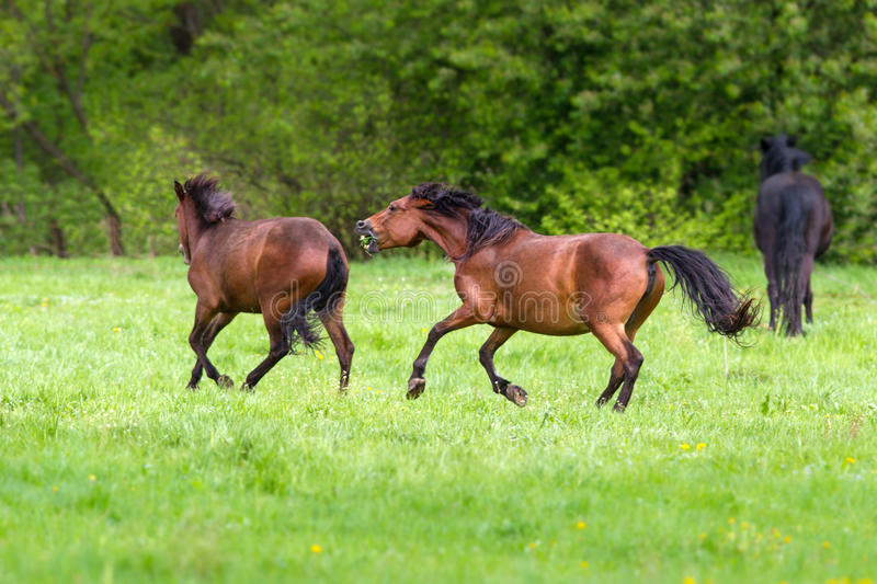 Horse play on pasture stock images