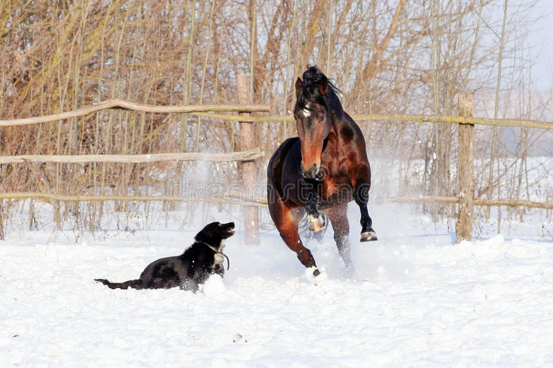 Horse playing with a dog stock photos