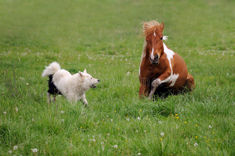 The horse plays with dog. Spotted horse plays with dog Laika on the background of grass royalty free stock photos