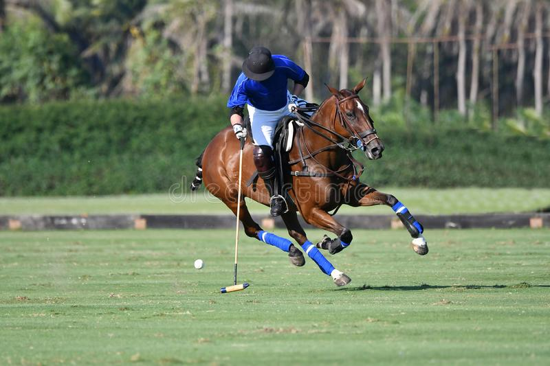 Horse polo player use a mallet hit ball stock photography
