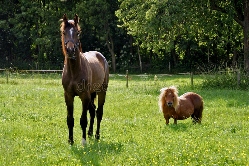 Horse and pony in meadow royalty free stock photography