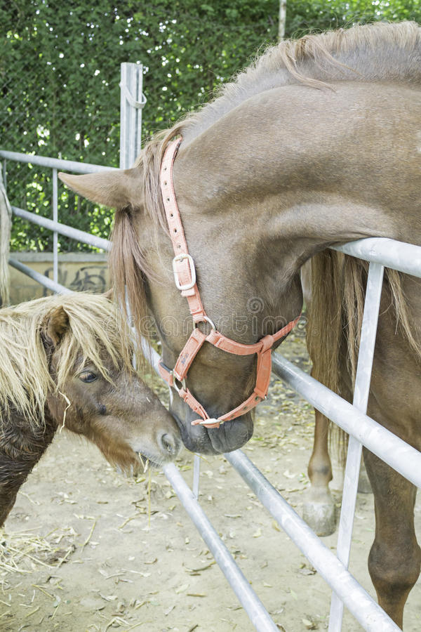 Horse and pony. Stall stroking, animal life stock images
