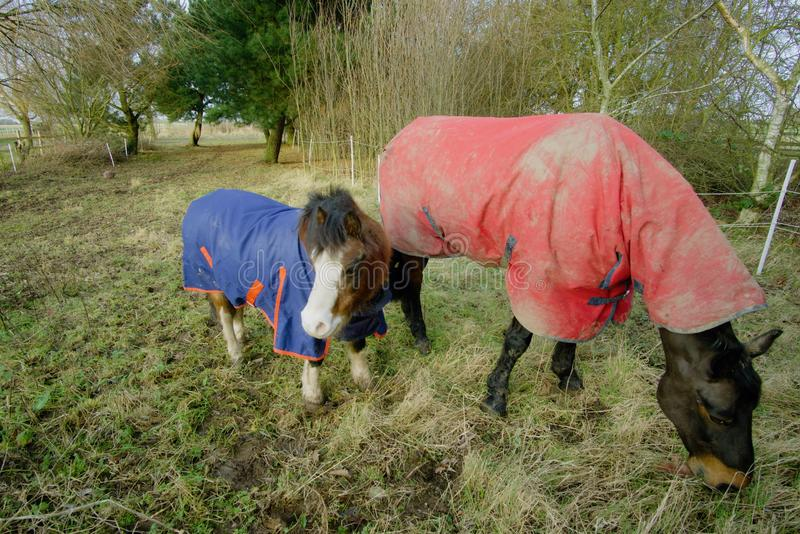 Horse and pony in winter coats. royalty free stock image