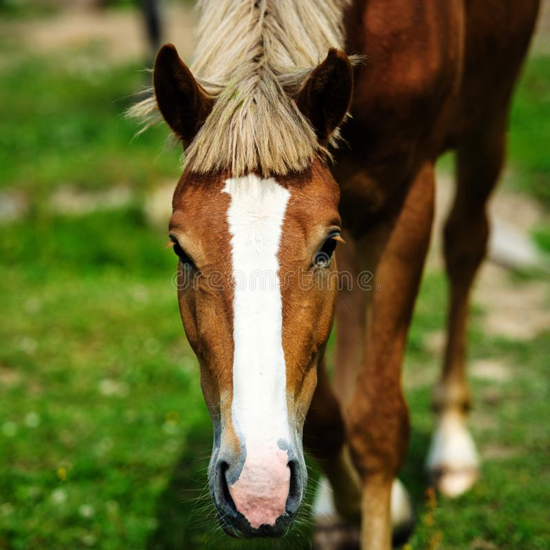 Horse portrait. Animal, arabian, background, bay, beautiful, beauty, brown, domestic, equestrian, equine, face, farm, head, looking, mammal, mane, mare, nature royalty free stock image