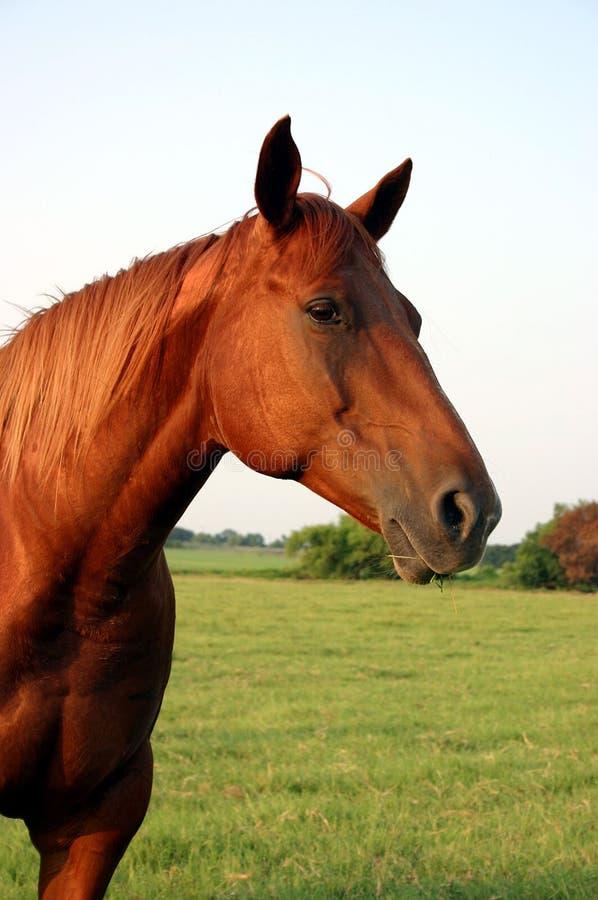 Download Horse Portrait stock photo. Image of portrait, quarter - 159314