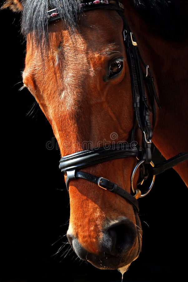 Download Horse portrait stock photo. Image of dressage, training - 4633252