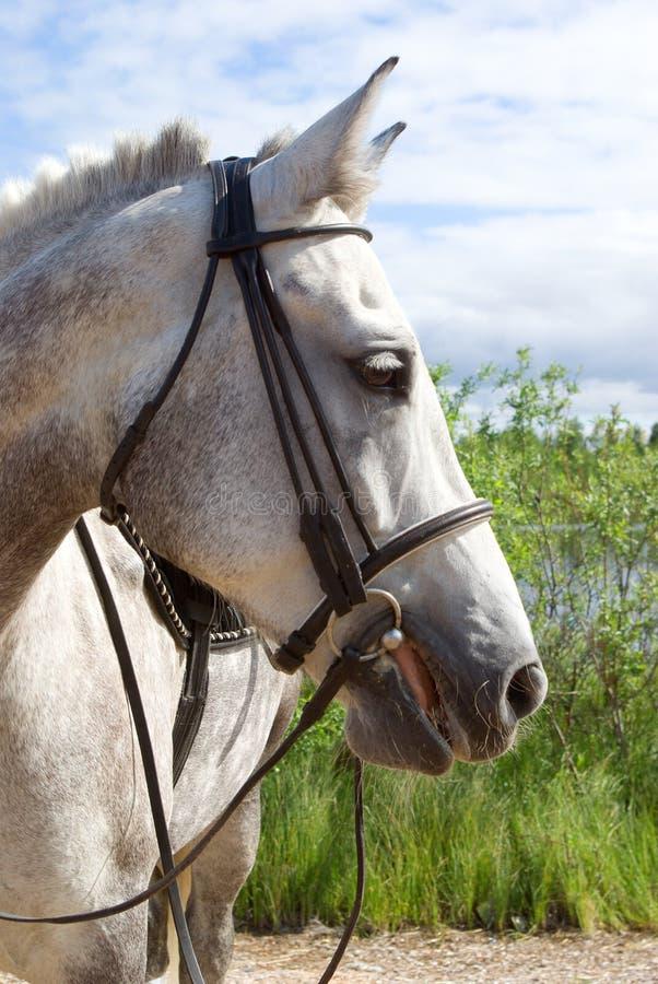 Horse portrait. Horse is bridle stock images