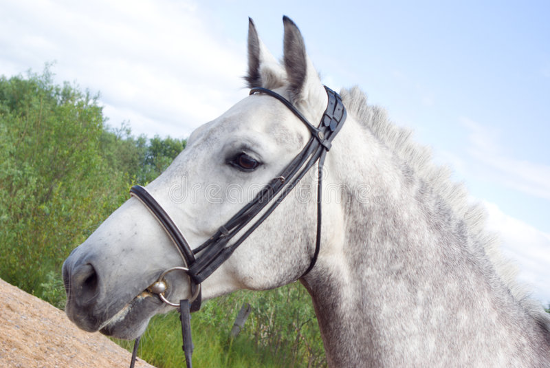 Horse portrait. Horse is bridle stock image