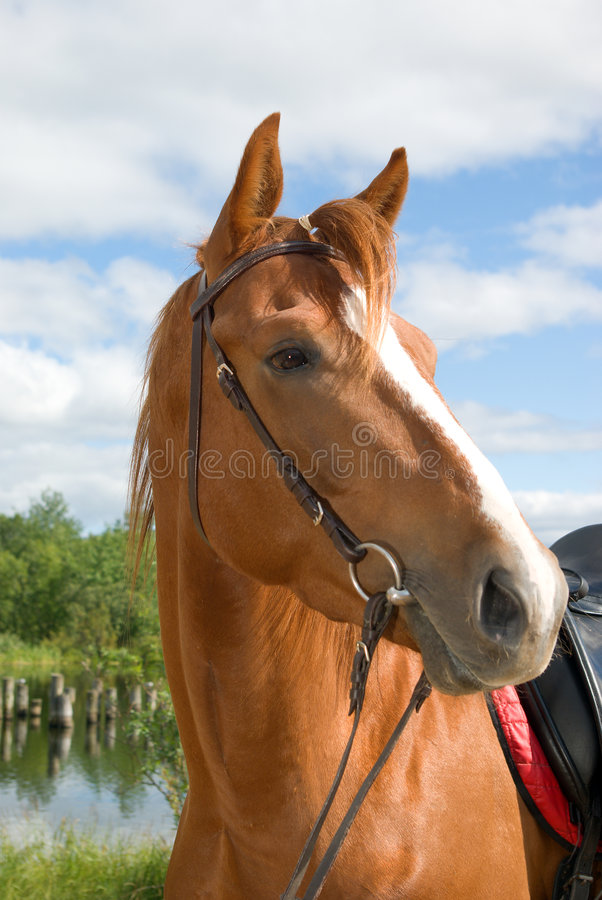 Horse portrait. Horse is bridled stock photos