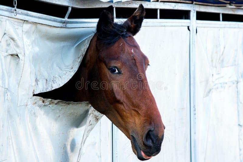 Horse Portrait . Arab racer . on a white background.Champion horses stock photo