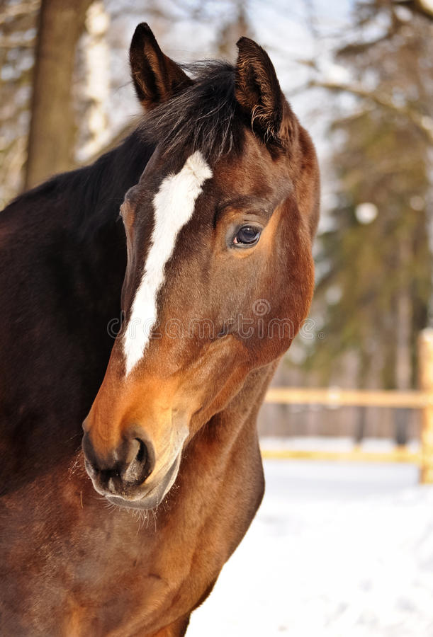 Horse portrait. Beautiful Horse portrait in levade in winter stock images