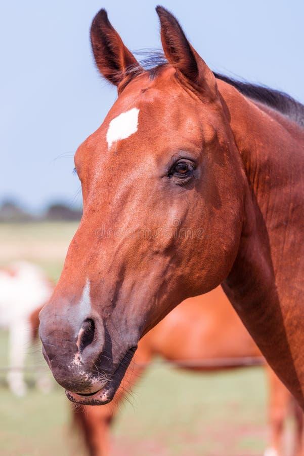 Horse portrait. A beauty brown horse portrait stock image