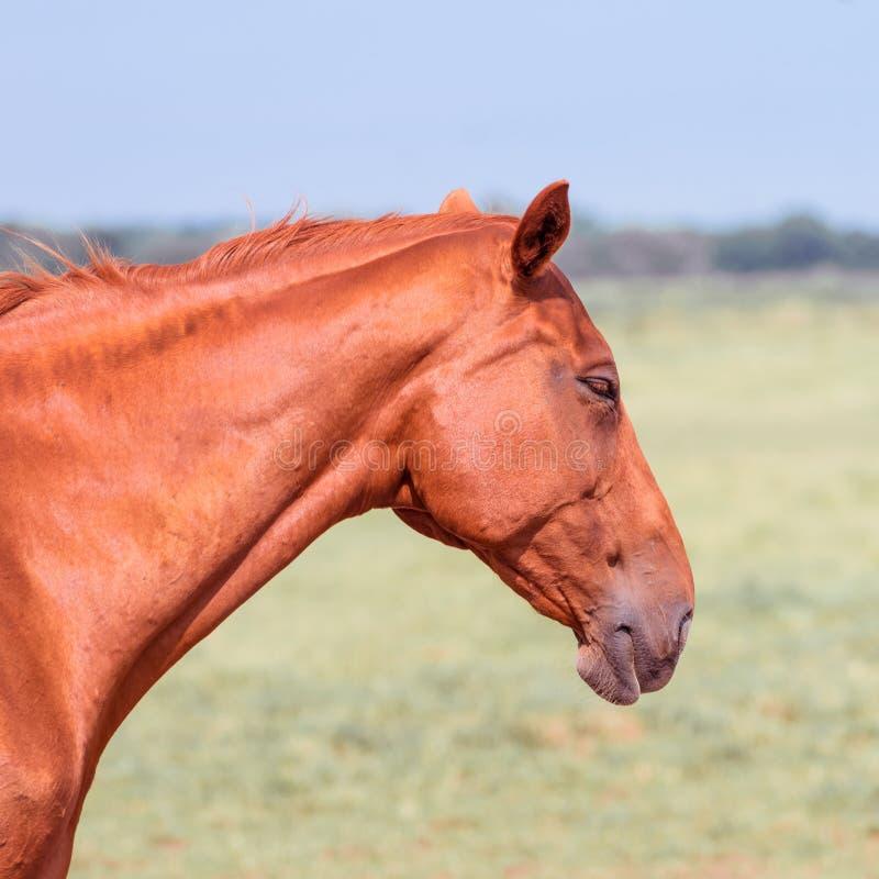 Horse portrait. A beauty brown horse portrait stock images