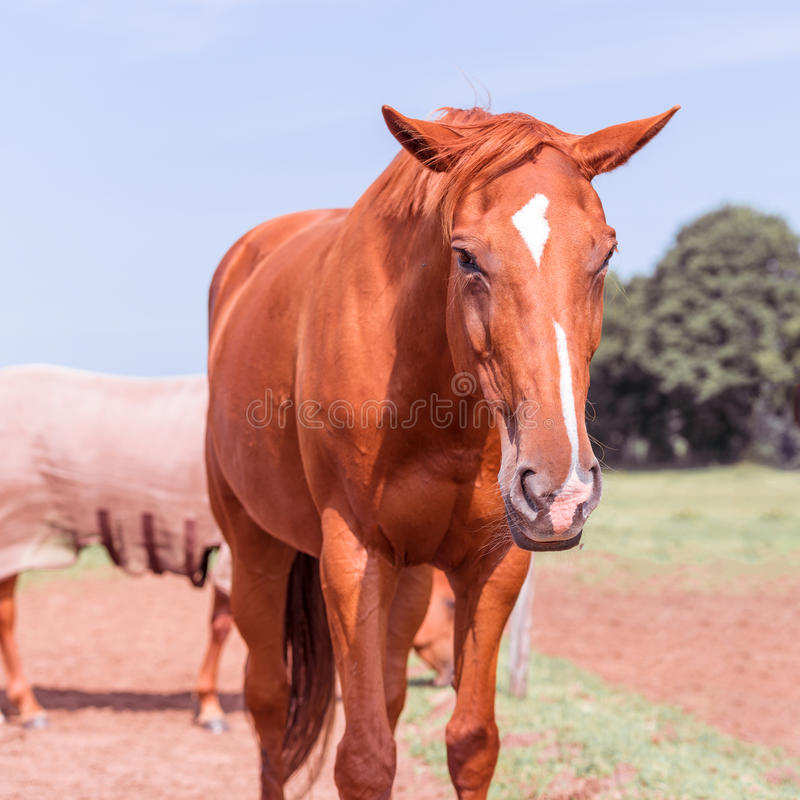 Horse portrait. A beauty brown horse portrait royalty free stock photography