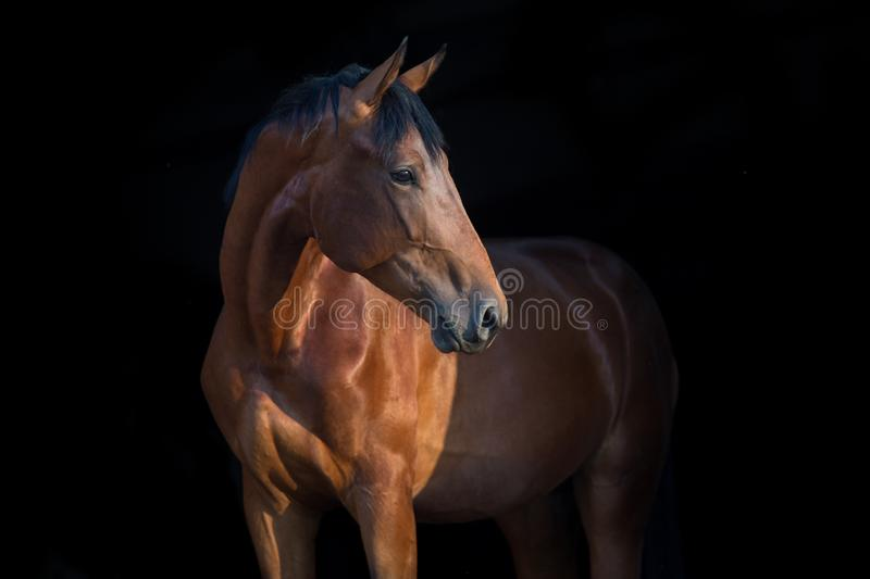 Horse portrait on black. Horse portrait close up on black background royalty free stock image