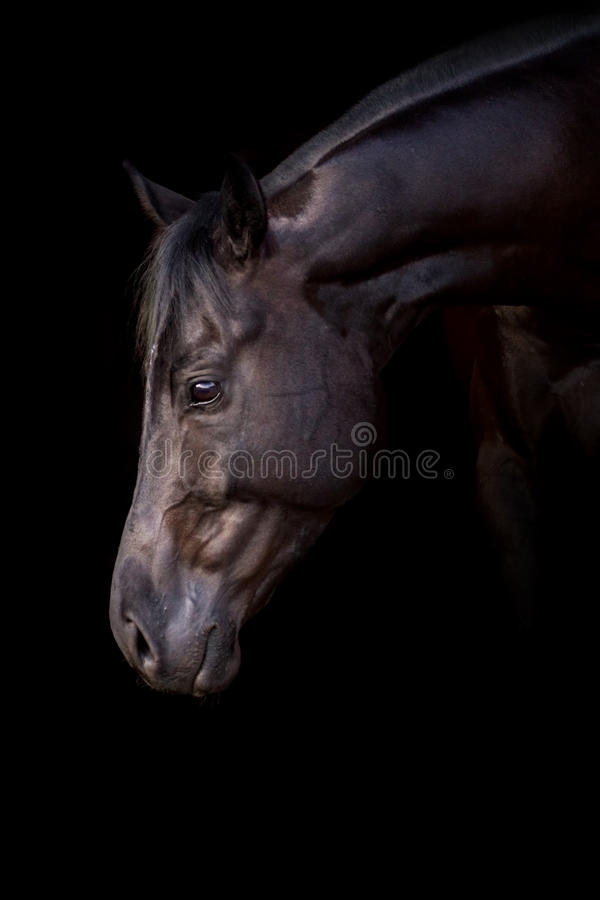 Horse portrait on black. Horse portrait isolated on black background royalty free stock image
