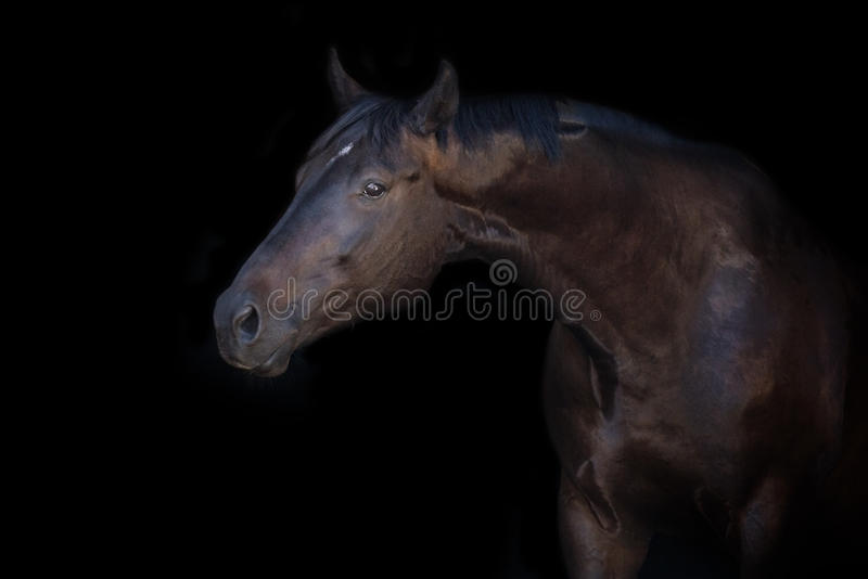 Horse portrait on black. Horse portrait isolated on black background stock photography