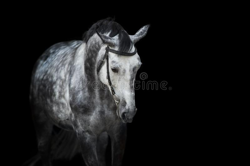 Horse portrait on black. White Horse portrait in bridle isolated on black background stock photo