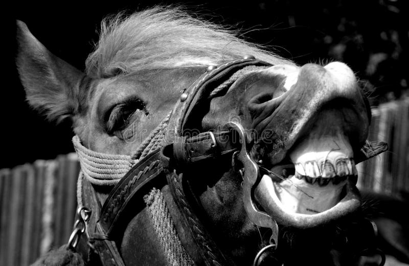 Horse portrait black and white stock photos
