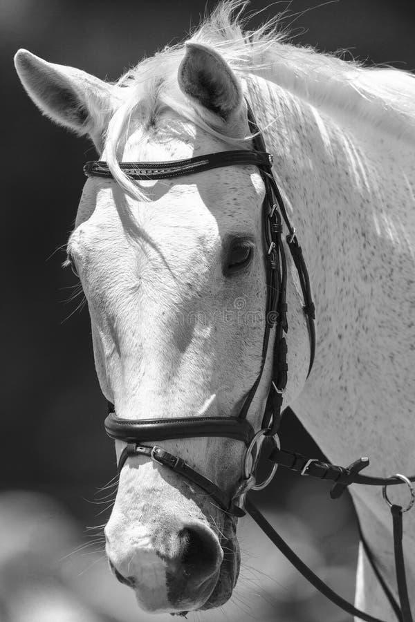 Horse Portrait Black White Vintage stock photography