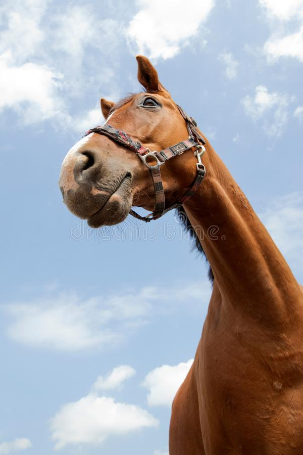 Horse portrait in blue sky. Horse portrait on the blue sky background royalty free stock photography