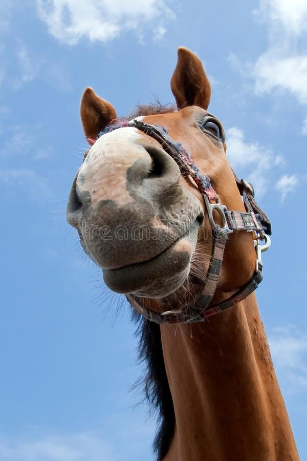 Horse portrait in blue sky. Horse portrait on the blue sky background royalty free stock image