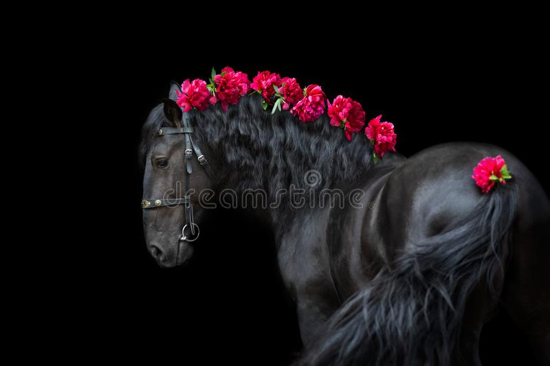 Horse portrait with flowers. Horse portrait in bridle isolated on black background with pions in mane stock photos