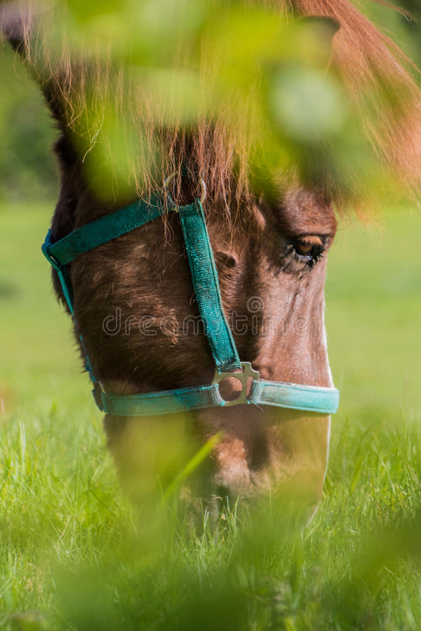 Horse portrait brown and white fur eyes and green foreground stock images