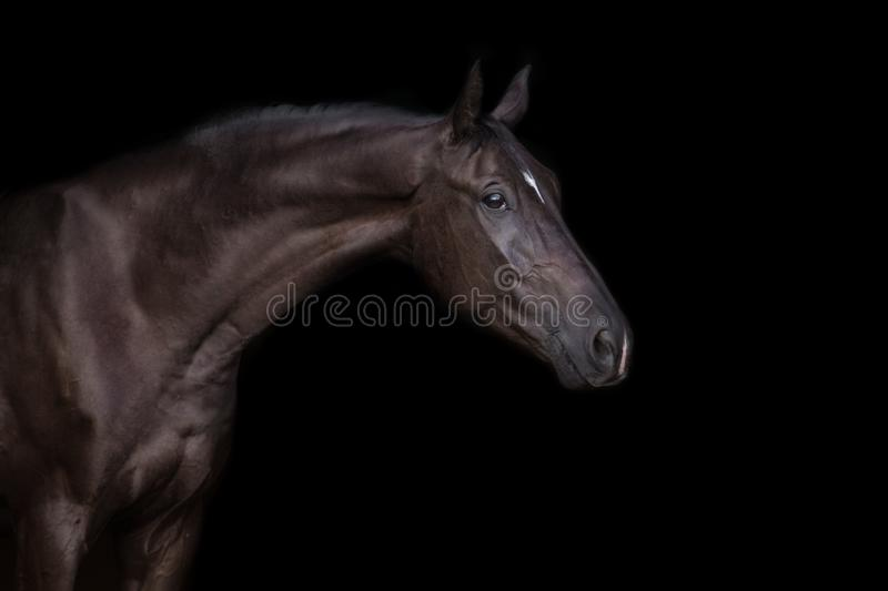 Black horse portrait royalty free stock image