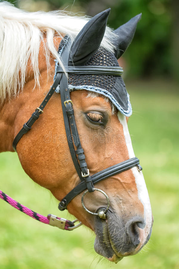 Horse portrait. Detailed brown horse portrait with black ears royalty free stock photography
