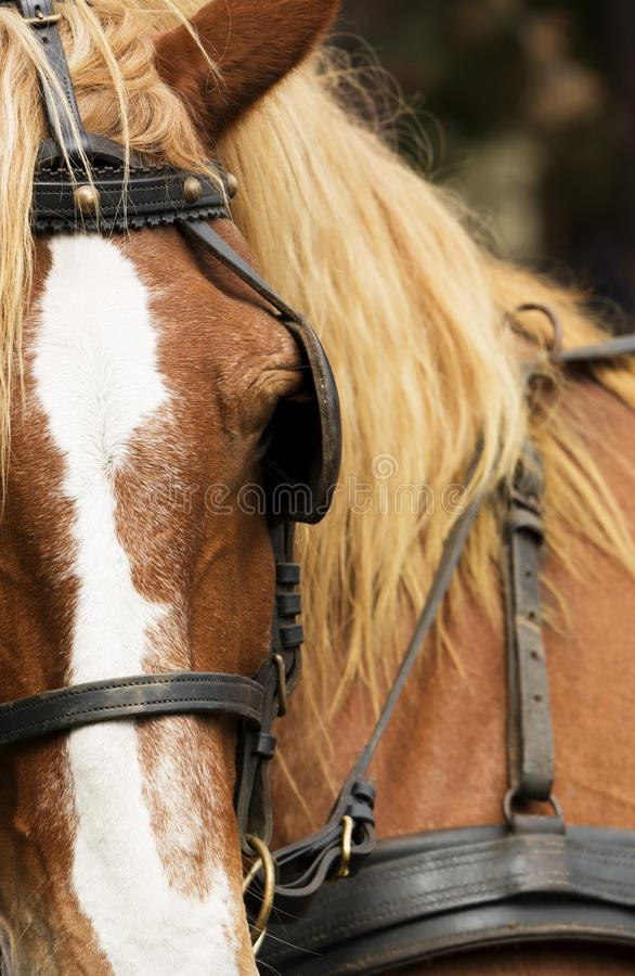 Horse portrait with equipment close up. Hungary royalty free stock photography