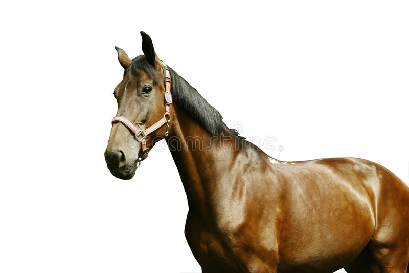 Horse portrait isolated on white royalty free stock images