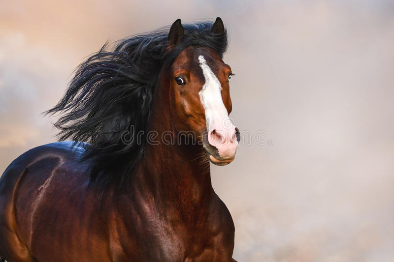Horse portrait in motion. Bay horse with long main close up portrait in motion stock images