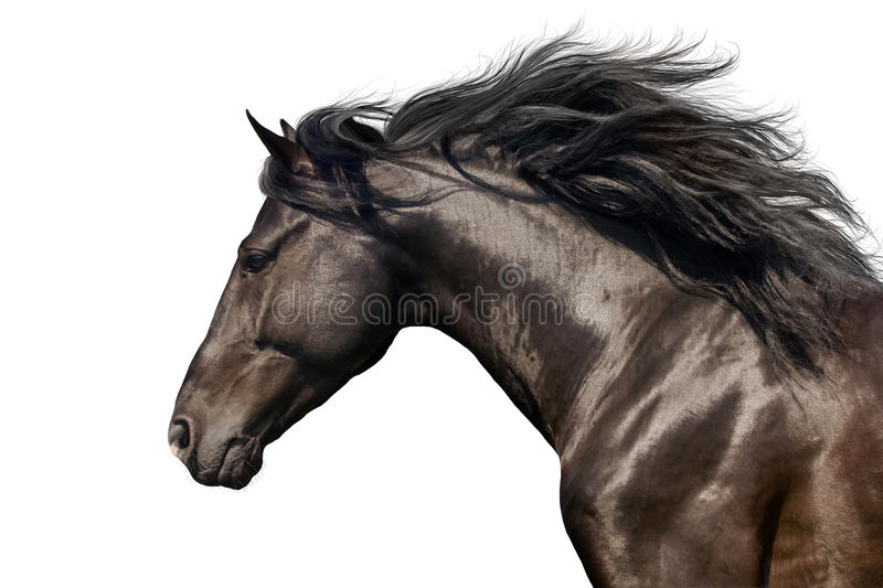 Horse portrait in motion. Black Horse portrait run gallop isolated on white background stock photography
