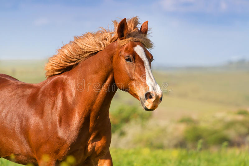 Horse portrait in motion. Red horse with long mane portrait in motion royalty free stock image