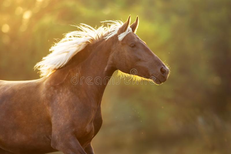 Horse portrait in motion. Run at sunlight royalty free stock photos