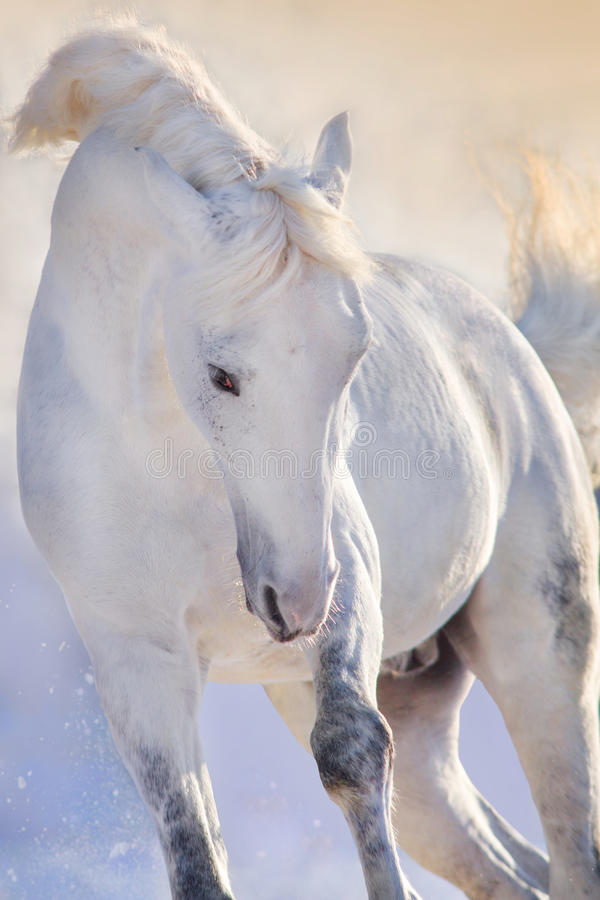 Horse portrait in motion. White horse with long mane portrait in motion in winter day stock images