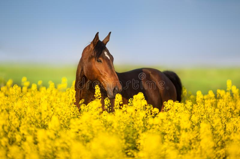 Horse portrait on rape royalty free stock photo