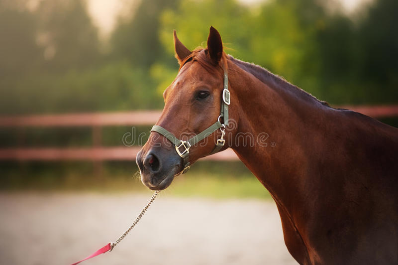 Horse portrait in summer. Mixed breed horse portrait in the paddock at sunset in summer stock images